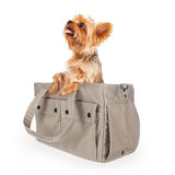 Yorkshire Terrier Dog in Travel Bag. Cute little Yorkie dog sitting up in a designer carrier Stock Photography