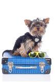 Yorkshire Terrier dog stock photos