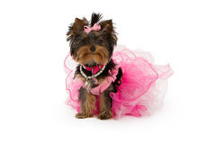 Free Yorkshire Terrier Dog Wearing Pink Tutu Royalty Free Stock Image - 23732056