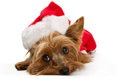 Yorkshire Terrier Dog Wearing Santa Hat Stock Photos