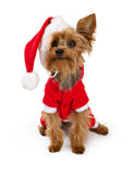 Yorkshire Terrier dog wearing a santa suit Royalty Free Stock Images