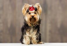 Yorkshire terrier dog Stock Photo