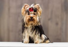 Yorkshire terrier dog Royalty Free Stock Photos