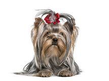 Yorkshire Terrier dog , 3 years. Lying against white background Royalty Free Stock Images