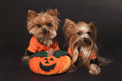 Yorkshire terrier dogs. With pumpkin Stock Photography