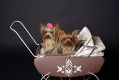 Yorkshire terrier dogs. Two yorkshire terrier dogs in antique doll baby carriage Stock Image