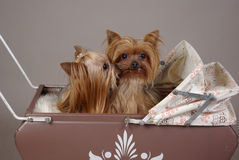 Yorkshire terrier dogs. Two yorkshire terrier dogs kissing in antique doll baby carriage Royalty Free Stock Photos