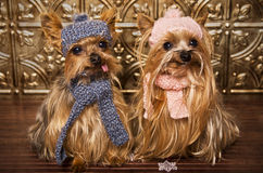 Yorkshire terrier dogs dressed up for winter. Yorkshire terrier dogs dressed up with hats and scarfs Stock Photo