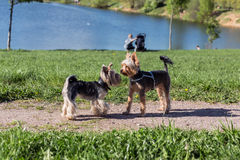 Yorkshire terrier dogs playing in the park Stock Photos