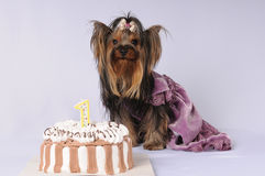 Yorkshire terrier in a dress with cake Stock Image