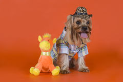 Yorkshire Terrier dressed as a cowboy Stock Images
