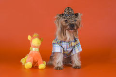 Yorkshire Terrier dressed as a cowboy Royalty Free Stock Photography