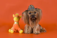 Yorkshire Terrier dressed as a cowboy Stock Photo
