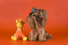 Yorkshire Terrier dressed as a cowboy Stock Photos