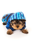 Yorkshire Terrier dressed for dogs isolated Stock Photo