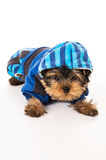 Yorkshire Terrier dressed for dogs isolated on white background Stock Photography