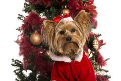 Yorkshire Terrier dressed in front of a Christmas tree. Close up of a Yorkshire Terrier dressed in front of a Christmas tree (3 years old Stock Images