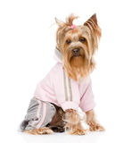 Yorkshire Terrier dressed in a tracksuit.   on whi Royalty Free Stock Images