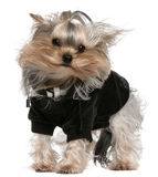 Yorkshire Terrier dressed up with hair in the wind Stock Photo