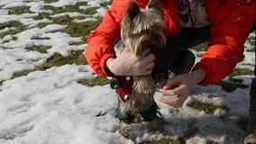 Yorkshire terrier dressing to suit. stock footage