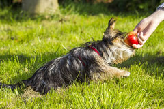 Yorkshire terrier is eating apple Stock Image