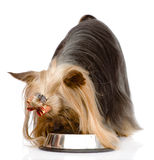 Yorkshire Terrier  eating food from dish. isolated on white back Royalty Free Stock Photography