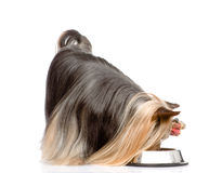 Yorkshire Terrier eating food from dish. isolated on white backg Stock Photography