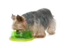 Yorkshire terrier eating Stock Photography