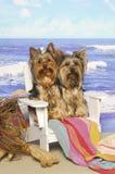 Yorkshire-Terrier in einem Strand-Stuhl Stockfotografie