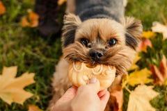 Yorkshire Terrier El perro es símbolo de los nuevo 2018 años, según calendario chino, año de perro amarillo de la tierra Animal d Fotos de archivo libres de regalías