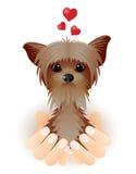 Yorkshire Terrier en amor. Foto de archivo libre de regalías