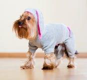 Yorkshire Terrier en guardapolvo Fotos de archivo