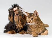 Yorkshire Terrier en kat in studio stock foto's