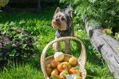 Yorkshire Terrier en mand van tomaten Royalty-vrije Stock Fotografie