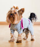 Yorkshire Terrier en permanecer total en piso Imagenes de archivo