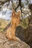 Yorkshire Terrier en una piedra fotografía de archivo