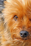 Yorkshire terrier face Stock Image