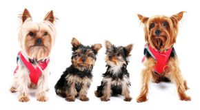 Yorkshire Terrier family Royalty Free Stock Photography