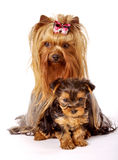 Yorkshire Terrier family Royalty Free Stock Images