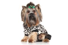 Yorkshire Terrier in fashionable clothes Royalty Free Stock Photos