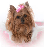 Yorkshire terrier female in a dog bed Royalty Free Stock Photography