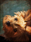 Yorkshire terrier on ferry Stock Photo