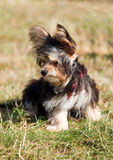 Yorkshire terrier fine dog. Small on green grass Royalty Free Stock Photography