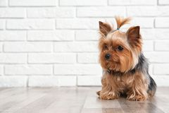 Yorkshire terrier on floor against brick wall, space for text. royalty free stock images