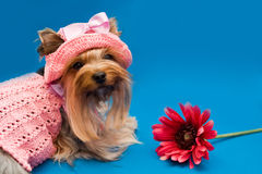 Yorkshire terrier and flower Royalty Free Stock Photography