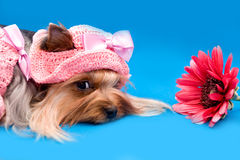 Yorkshire terrier and flower Stock Photography