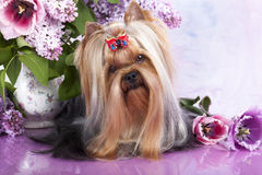 Yorkshire terrier and flowers Royalty Free Stock Photos