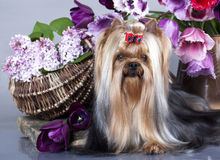 Yorkshire terrier and flowers Stock Images