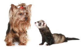 Yorkshire Terrier and freet Stock Image