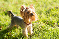 Yorkshire terrier, friendly pet, little dog Stock Photos